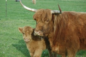 COW AND CALF CLOSE