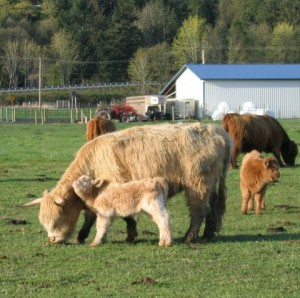 COW AND CALF FIELD
