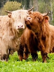 COWS LICKING